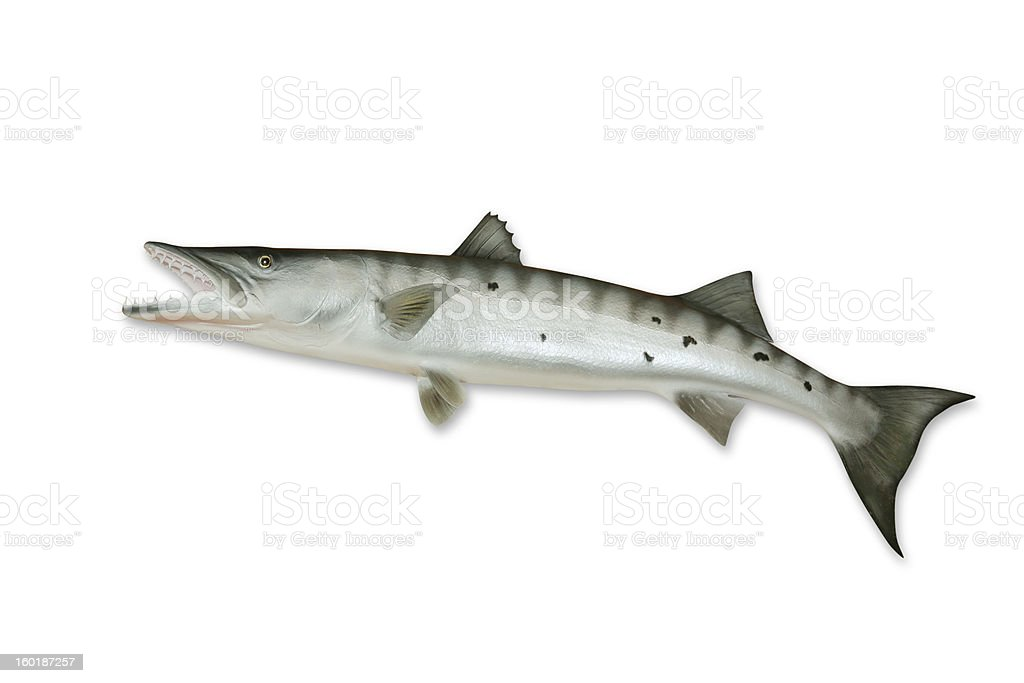 Barracuda with Clipping Path stock photo