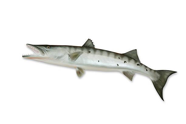 Barracuda com Traçado de Recorte - foto de acervo