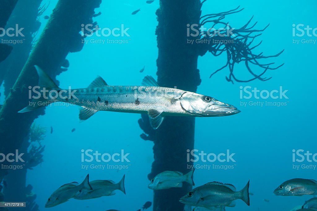 Barracuda with snappers stock photo