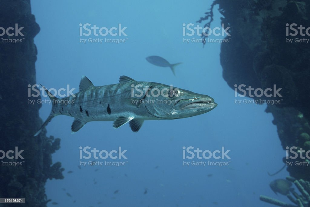 Barracudabetween pier pillars. stock photo