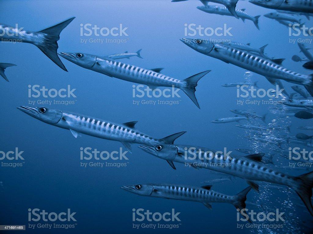 Barracudas in open blue stock photo