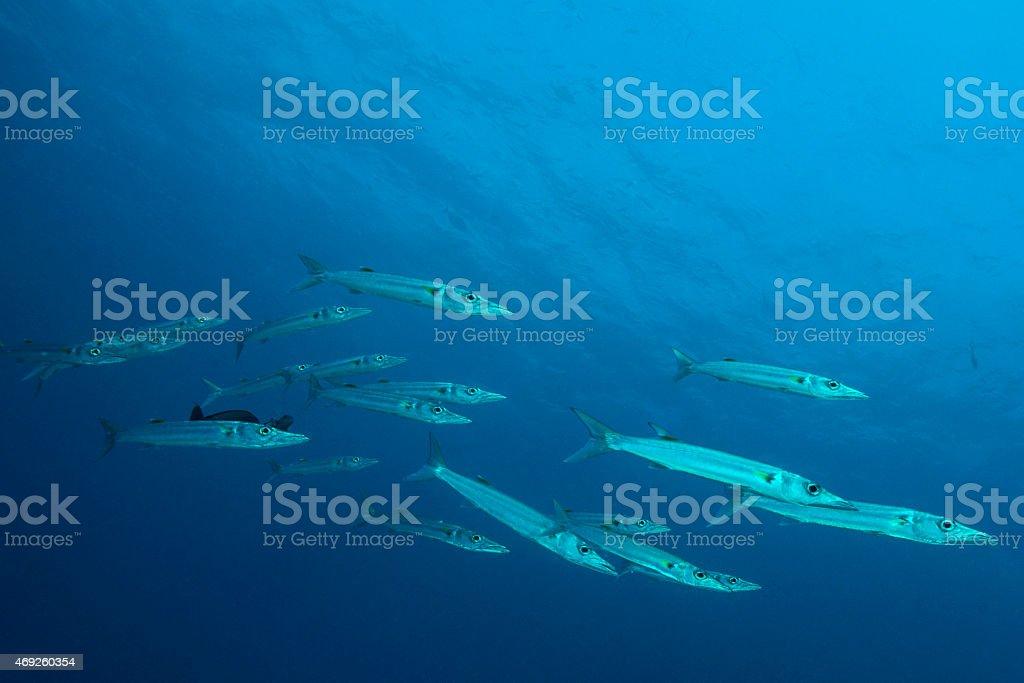 Barracudas - Palau stock photo