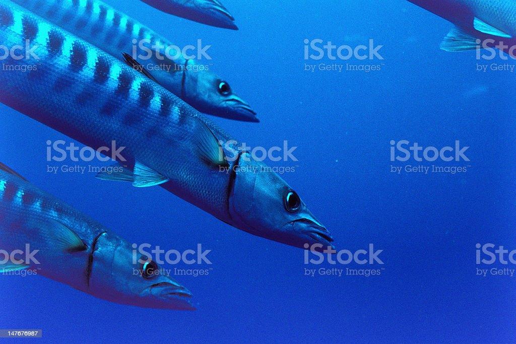 barracudas royalty-free stock photo