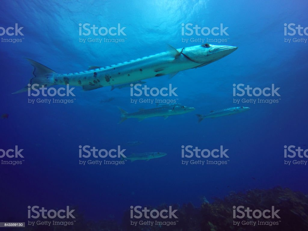 barracudas - foto de stock