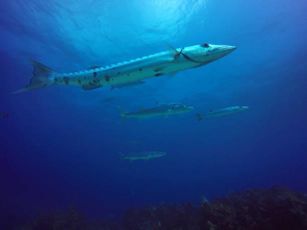 barracudas - foto de acervo