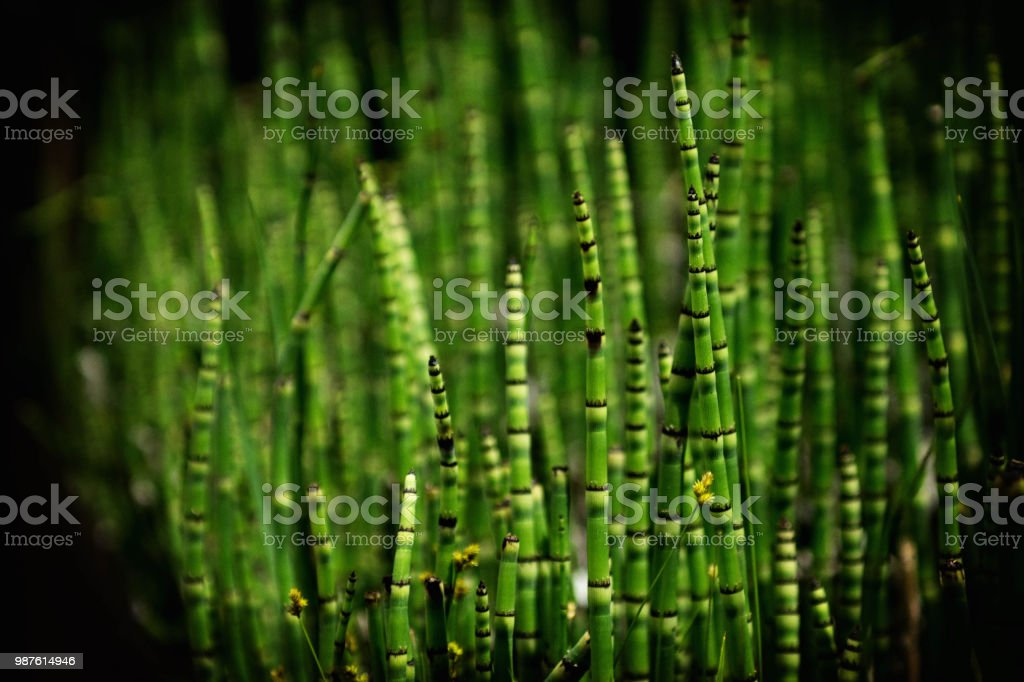 Barred horsetail plant stock photo