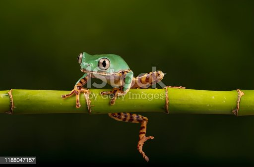Also known as the Super tiger leg monkey tree frog