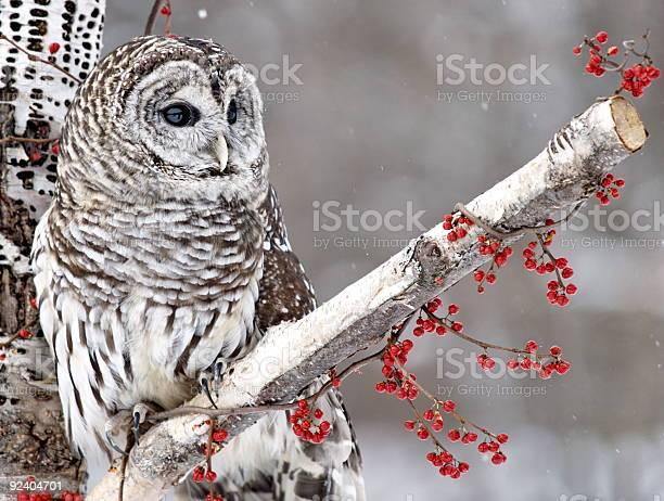 Barred owl and red berries picture id92404701?b=1&k=6&m=92404701&s=612x612&h=rllj26wse7jfm3v9zvgcgelvulejgf7313q9yimmss0=