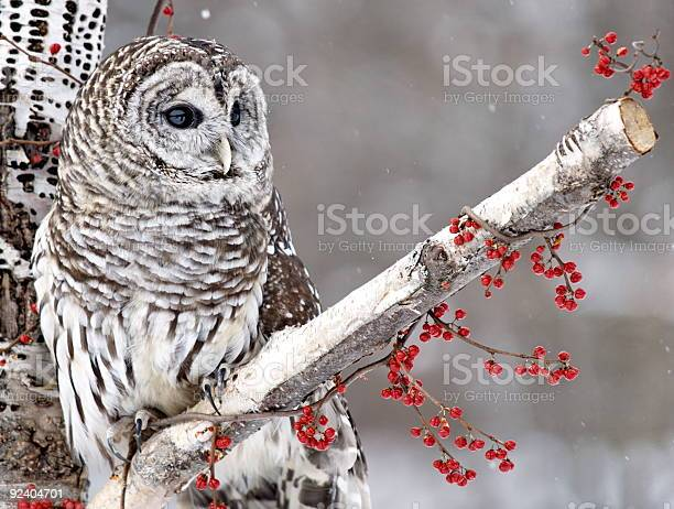 Photo of Barred Owl and Red Berries