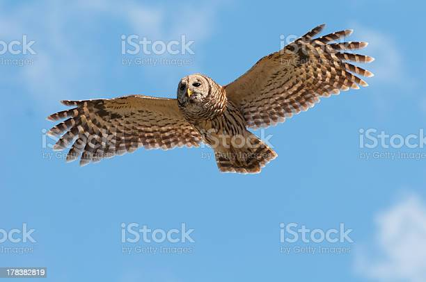 Photo of Barred Owl in flight