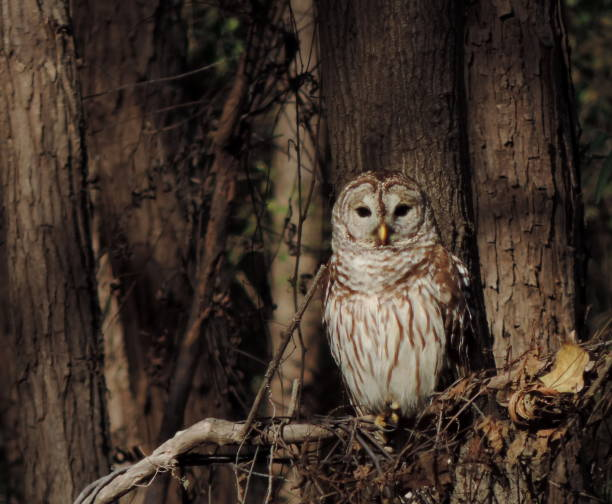 barred owl in forest stock photo
