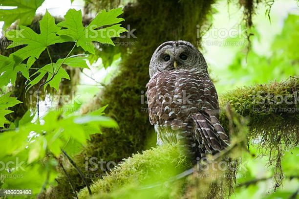 Barred owl in olympic national park picture id486609460?b=1&k=6&m=486609460&s=612x612&h=axrpmy3mdlcqrqwtnfryeu mmwthd3ydgcybpirkpfm=