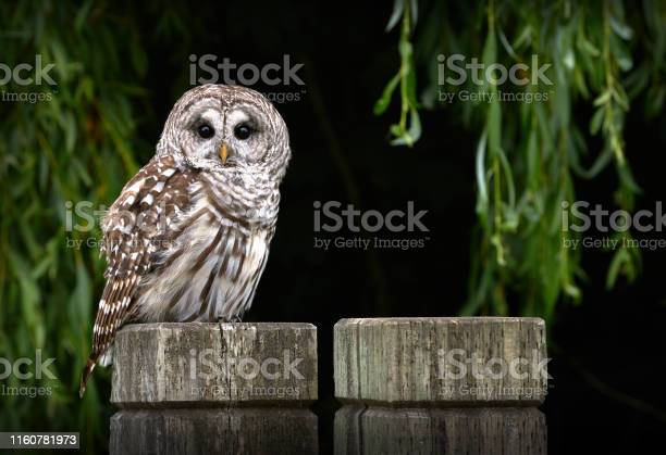 Photo of Barred Owl on Post