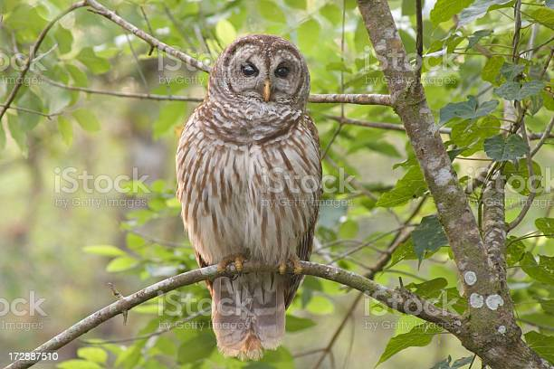 Photo of Barred Owl Perched in Forest