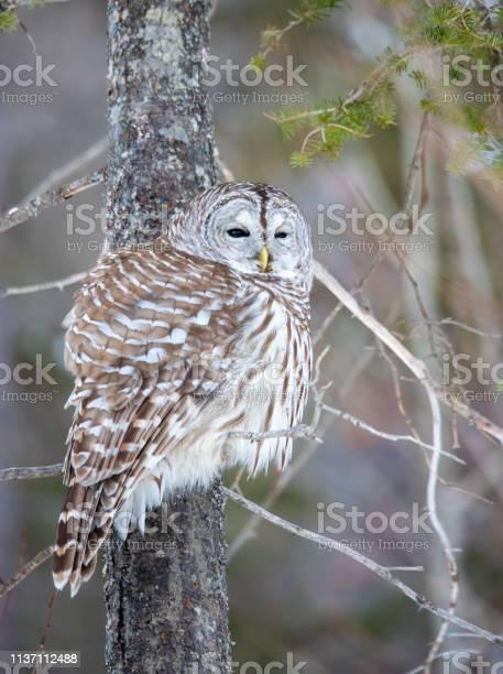 Barred owl perched in tree picture id1137112488?b=1&k=6&m=1137112488&s=612x612&h=bfvjduu3dxm2 pwdb8ffzf9h6ortslkxe6rogzoepw0=