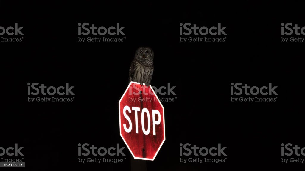 Barred owl perched on stop sign at night stock photo