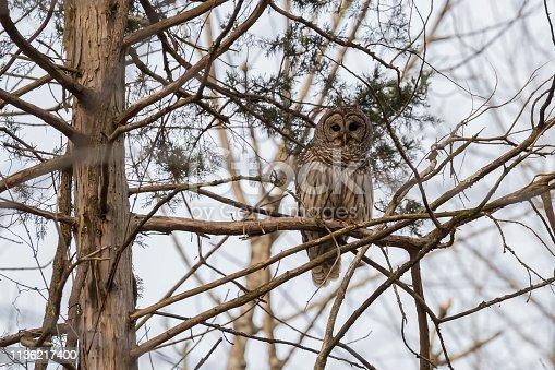 A Barred Owl perched on a tree limb.