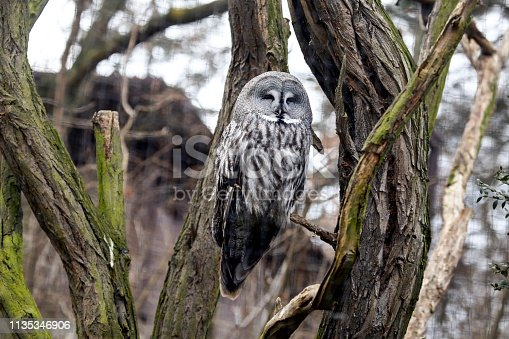 The barred owl, also known as northern barred owl or hoot owl, is a true owl native to eastern North America.