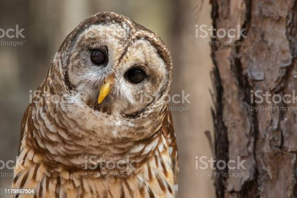 Photo of Barred Owl
