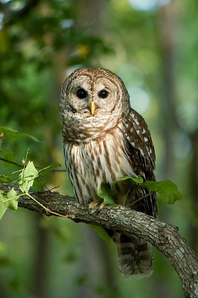 Barred owl picture id144187960?b=1&k=6&m=144187960&s=612x612&w=0&h=at6sxrxrdq3uc6aqf2f5xrjvahvudmjjqbxanel3q w=