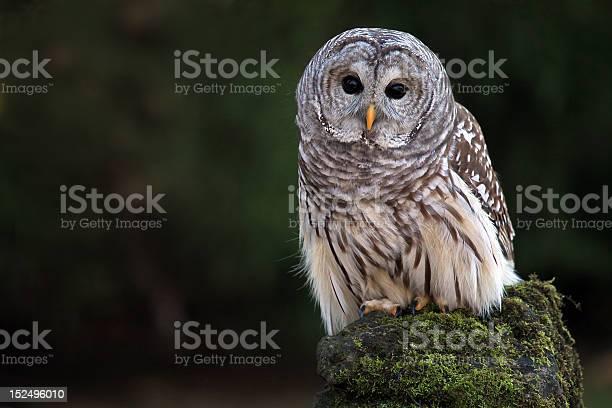 Barred owl picture id152496010?b=1&k=6&m=152496010&s=612x612&h=a58vjx5bgj3ntwm9g396c2gygz1ic1ozvz4tnfcrwik=