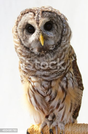 Frontal view of a barred owl on a neutral background