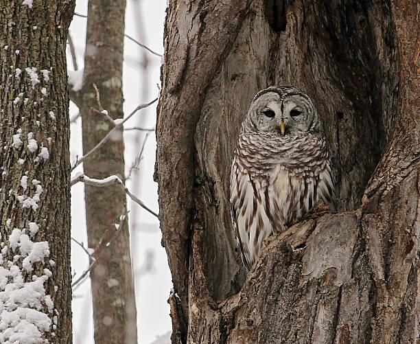 Barred owl picture id505532446?b=1&k=6&m=505532446&s=612x612&w=0&h=9fxxwcr0sqniq5rv3 rmf0tn m1sxijt96thhtz0jys=