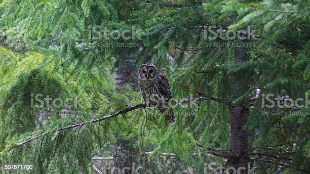 Barred owl picture id507871700?b=1&k=6&m=507871700&s=612x612&h=zc8goeiiqrnlu4ffjd8qvq4mu z3a0vtjzy8hgkjjbq=