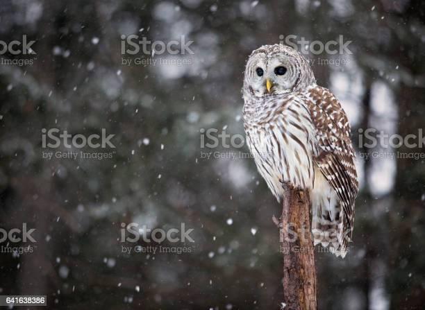Barred owl picture id641638386?b=1&k=6&m=641638386&s=612x612&h=xt2vvhx3mj7jssp2w4kf1ktybncjwoggl8 gvcdog u=