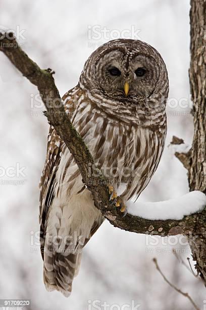 Barred owl picture id91709220?b=1&k=6&m=91709220&s=612x612&h=ea0n8daccrpkh7k3v omvw7lubmraieinjgbz cby88=