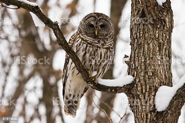 Barred owl picture id91813530?b=1&k=6&m=91813530&s=612x612&h=g3bwkz8qrzyur4v5remhiif2qbmgdbfcleehbc7dwya=