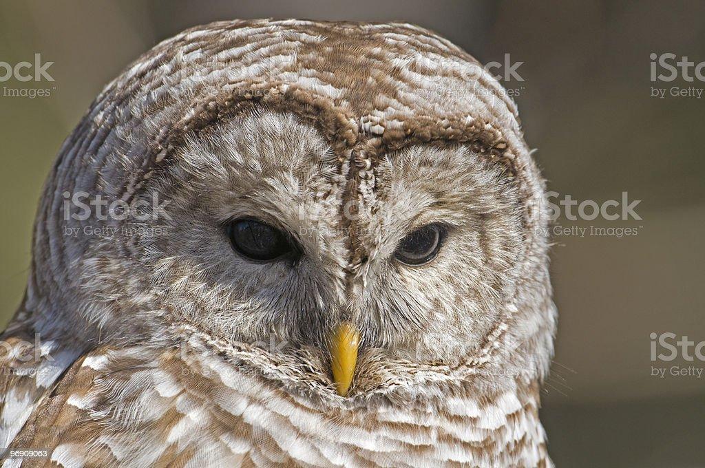 Barred Owl Portrait royalty-free stock photo