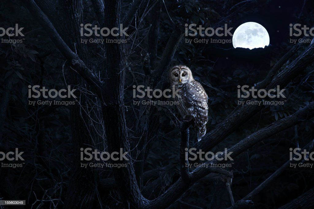 Barred Owl Sits Quietly Illuminated By Bright Full Moonrise stock photo