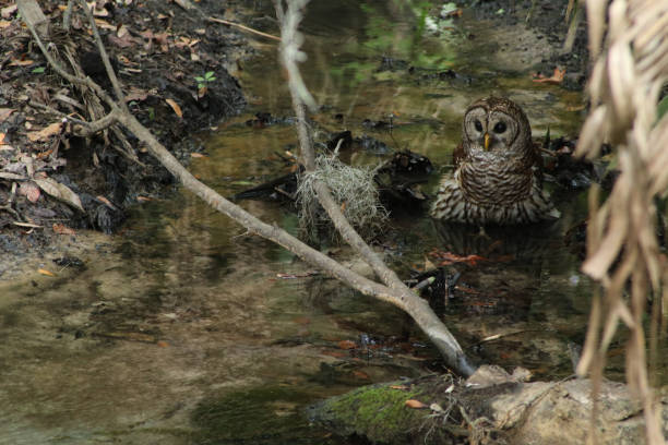 Barred Owl sitting in a creek stock photo