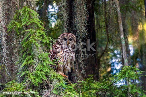 Barred Owls (Strix varia) have been a part of the natural scene for many, many thousands of years and can be found from Maine to Florida. They have a distinctive rich baritone