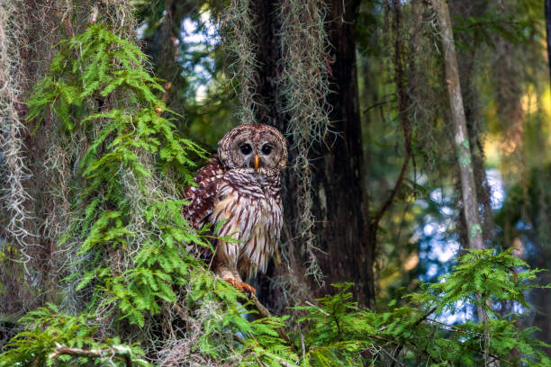 """Barred Owls (Strix varia) have been a part of the natural scene for many, many thousands of years and can be found from Maine to Florida. They have a distinctive rich baritone """"voice"""" But, you are more likely to hear one than see one"""