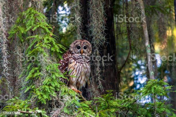 Photo of Barred Owls (Strix varia) have been a part of the natural scene for many, many thousands of years and can be found from Maine to Florida. They have a distinctive rich baritone