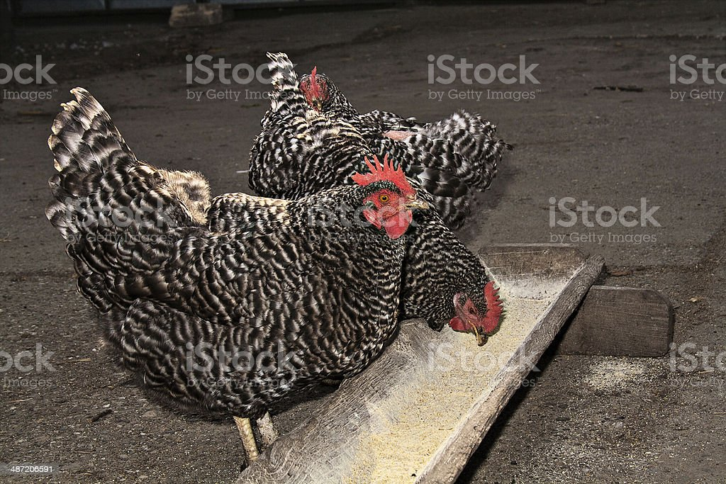 Barred Plymouth Rock Chickens feeding outdoor stock photo