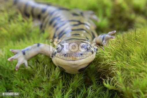 Barred Tiger Salamander (Ambystoma mavortium) smiling and crawling in moss