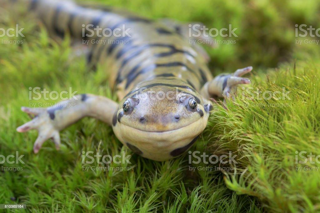 Barred Tiger Salamander (Ambystoma mavortium) smiling in moss stock photo
