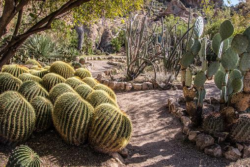 Yellow needle barrel cactus and other desert plants in an ornamental garden near Superior, Arizona. American Southwest.