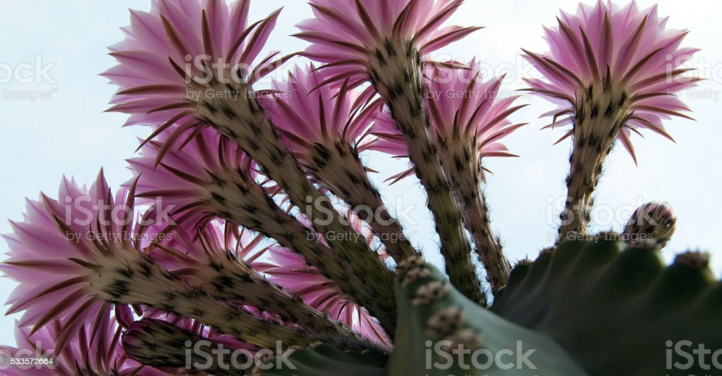 Barrel Cactus Flowers blooming in Riverside California stock photo