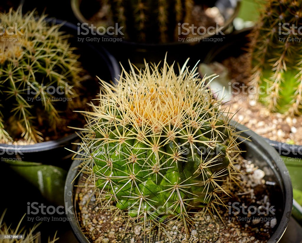 Barrel Cactus groiwng in a Pot stock photo