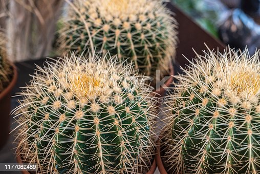 Close-up of three barrel cactus.  As a floral meaning, the cactus represents longevity and endurance; this is a plant that can handle what is thrown at it in terms of the elements.