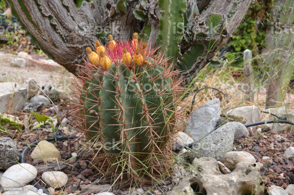 Barrel Cactus with Prickley Pear Fruit stock photo