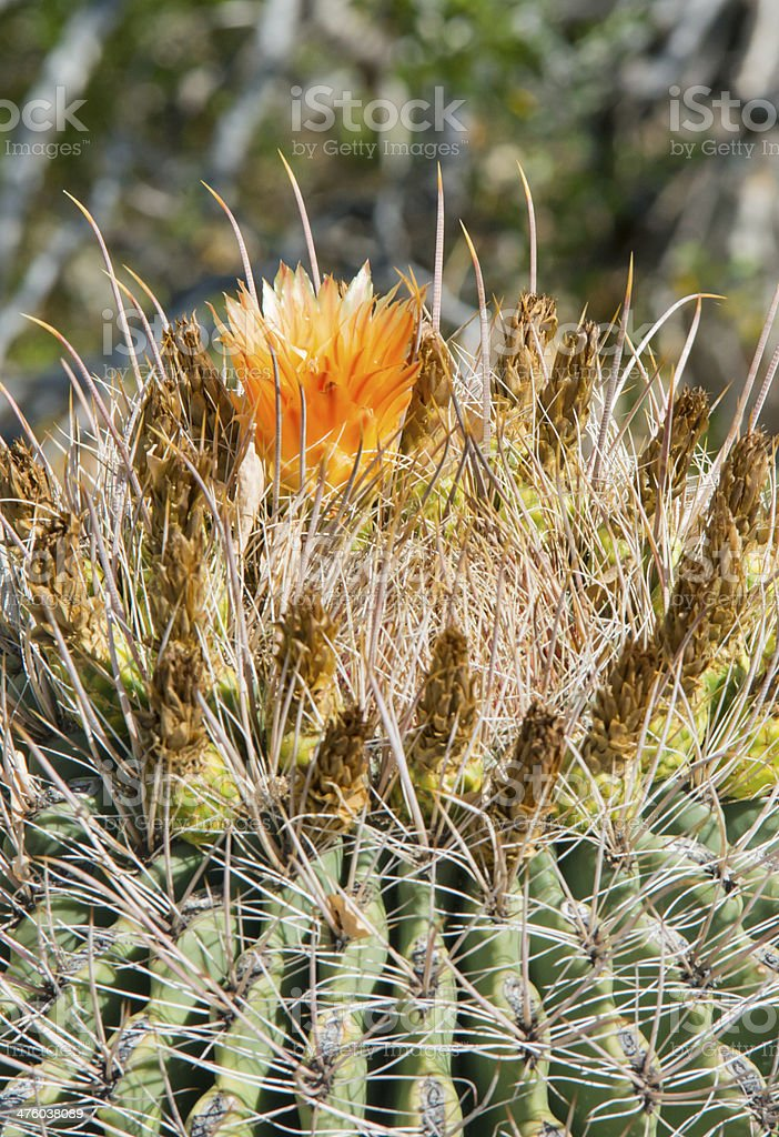 Barrel Cactus with ring of flowers on Top royalty-free stock photo