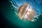 Barrel jellyfish (Rhizostoma pulmo ) in Mediterranean Sea