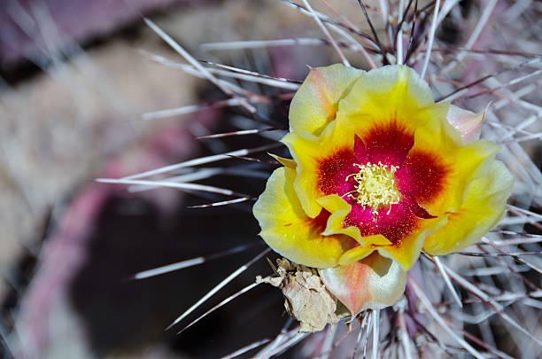 Barrell cactus flower stock photo