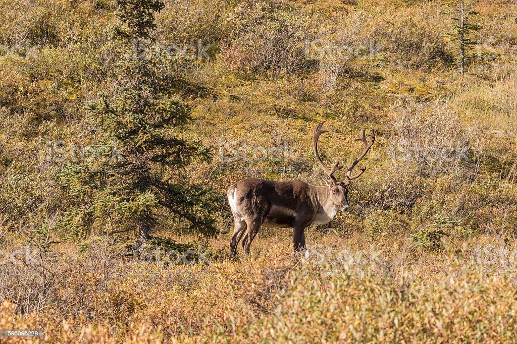 Barren Ground Caribou Bull royalty-free stock photo