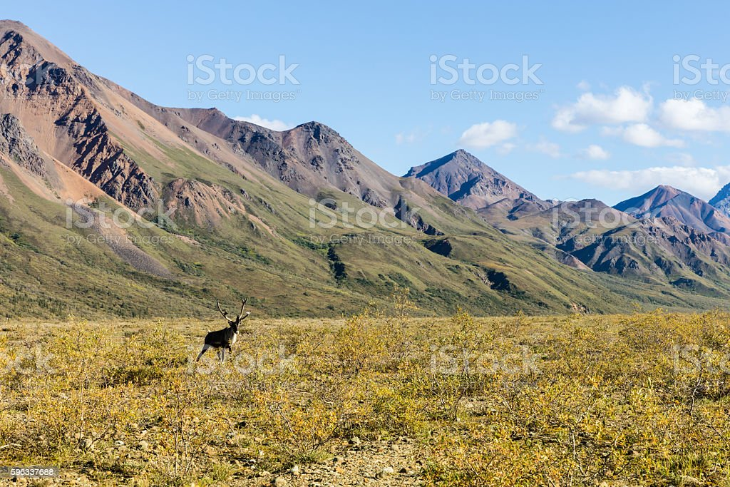 Barren Ground Caribou Bull royalty-free stock photo
